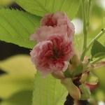 Cerasus serrulata cv. Spaerantha/ Cherry var. Kenroenkikuzakura/ ケンロクエンキクザクラ
