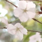 Cerasus serrulata 'Rubida' / Cherry var. Bendono/ベンドノ 弁殿