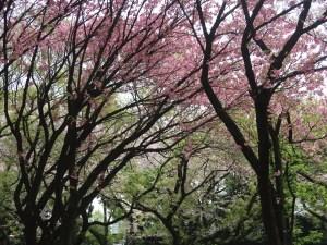 Cerasus serrulata 'Matsumae-hayazaki'/ Cherry var. Matsumae hayazaki/ マツマエハヤザキ