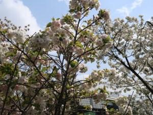 Cerasus serrulata 'Shirotae' / Cherry var. Shirotae/ シロタエ