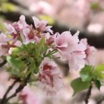 Cerasus ×sieboldii 'Caespitosa'/ Cherry var. Takasago/ タカサゴ