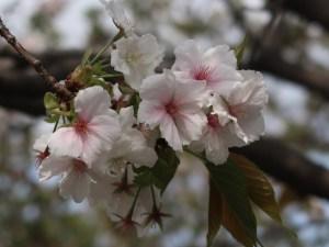 Cerasus serrulata 'Taihaku'/ Cherry var. Taihaku/ タイハク