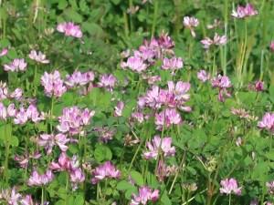Astragalus sinicus/ Chinese milk vetch/ ゲンゲ 紫雲英