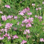 Astragalus sinicus/ Chinese milk vetch/ ゲンゲ 紫雲英