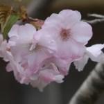 "Cerasus serrulata ""Haruka""/ Cherry var. Haruka/ ハルカ はるか はるかの原木"