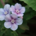 Omphalodes japonica/ Japanese navelwort/ ヤマルリソウ