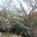 Cerasus serrulata 'Wasinowo'/ Cherry var. Washinowo/ ワシノオ 安行の太明