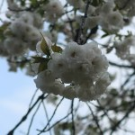 Cerasus serrulata 'Shirotae' / Cherry var. Shirotae/ シロタエ 神代の満月