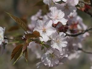 Cerasus serrulata 'Similis'/ Cherry var. Taguiarashi/ タグイアラシ 類嵐 安行の類嵐