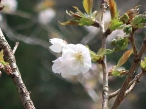Cerasus serrulata 'Senriko'/ Cherry var. Senrikou/ センリコウ 三島の千里香