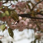 Cerasus jamasakura 'Naohiana'/ Cherry var. Konohanazakura/ コノハナザクラ