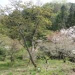 Cerasus serrulata cv. Spaerantha/ Kenroenkikuzakura/ ケンロクエンキクザクラ佐野の兼六園菊桜