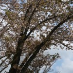 Cerasus jamasakura 'Sanozakura'/ Cherry var. Sanozakura/ サノザクラ