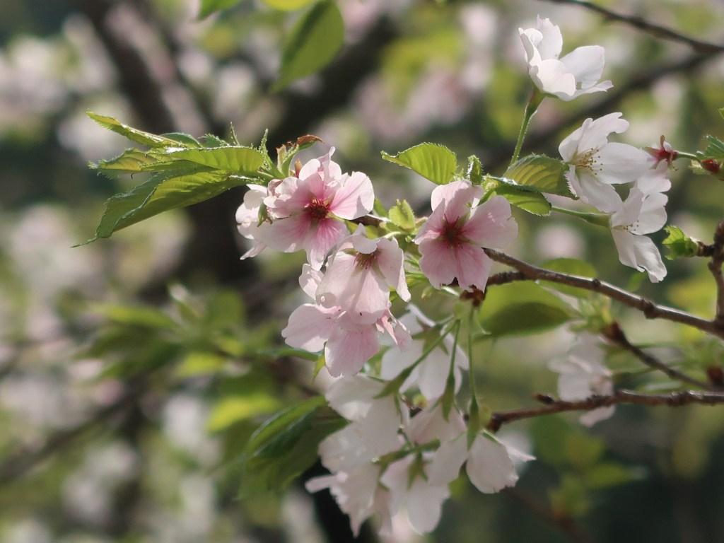 Cerasus × yedoensis 'Naniwa-zakura'/ Prunus × yedoensis 'Naniwa-zakura'/ ナニワザクラ