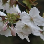 Cerasus serrulata 'Taihaku'/ Cherry var. Taihaku/ タイハク 安行の有明