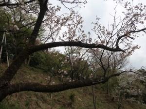 Cerasus serrulata 'Shionobori'/ Cherry var. 'Shionobori'/ シオノボリ