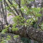 Cerasus speciosa 'Glauca'/ Cherry var. Minakami/ ミナカミ
