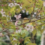 Cerasus jamasakura 'Sendaiya'/ Cherry var. Sendaiya/ センダイヤ