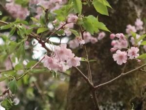 Cerasus spachiana f. spachiana'Yaebenishidare'/ Cherry var. Yae Benishidare/ ヤエベニシダレ