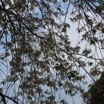 Cerasus × yedoensis 'Perpendens'/ Cherry var. Shidare someiyoshino/ シダレソメイヨシノ