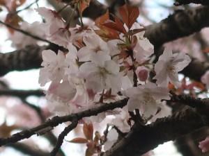 Cerasus serrulata 'Taoyame'/ Cherry var. Taoyame/ タオヤメ 佐野の衣笠