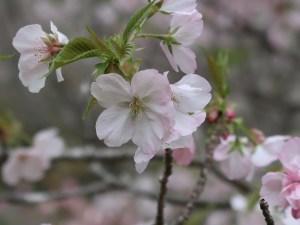 Cerasus serrulata 'Mikurumakaisi'/ Cherry var. Mikurumagaeshi/ ミクルマガエシ 三島の野々宮