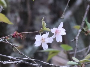 Cerasus incisa/ Cherry var. Fuji/ マメザクラ