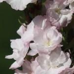 Cerasus serrulata 'Erecta'/ Cherry var. Amanogawa/ アマノガワ