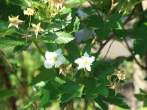 Rubus trifidus/ Rubus trifidus/ カジイチゴ