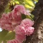 Cerasus serrulata 'Beni-shigure'/ Cherry var. Beni-shigure/ ベニシグレ