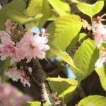 ベニシグレ 花の姿散り始め