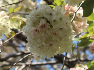 Cerasus serrulata 'Grandiflora' / Cherry var. Ukon/ ウコン