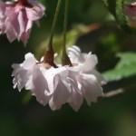 Cerasus incisa 'Oshidori'/ Cherry var. Oshidori/ オシドリ