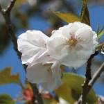 Cerasus serrulata 'Candida'/ Cherry var. Ariake/ アリアケ