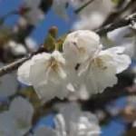 Cerasus speciosa'Affinis'/ Cherry var. Jyonioi/ ジョウニオイ