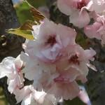 Cerasus serrulata 'Hokusai'/Cherry var. Hokusai/ ホクサイ