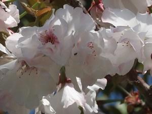 Cerasus serrulata 'Hirosaki‐yukiakari'/ Cherry var. Hirosaki‐yukiakari/ ヒロサキユキアカリ