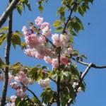 Cerasus serrulata 'Fasciculata' / Cherry var. Itokukuri/ イトククリ 糸括、浅利系