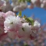 Cerasus serrulata 'Superba'/ Cherry var. Syogetsu/ ショウゲツ