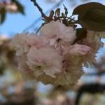 Cerasus serrulata 'Albo-rosea'/Cherry var. Fugenzou シロフゲン カラムタウト樹木園