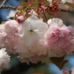 Cerasus serrulata 'Albo-rosea'/Cherry var. Fugenzou シロフゲン キューガーデン