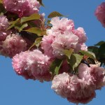 Cerasus serrulata 'Matsumae-benimurasaki'/ Cherry. Var. Matsumae-benimurasaki/ マツマエベニムラサキ