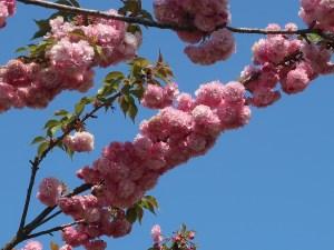 Flowering branch Cerasus serrulata 'Matsumae-benimurasaki'/ マツマエベニムラサキ