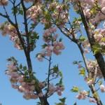 Cerasus serrulata'Matsumae-benitamae'/ Cherry var. Matsumae-benitamae/ マツマエベニタマエ
