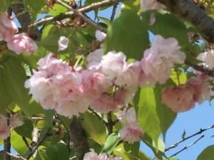 Cerasus serrulata'Matsumae-hanamiyako'/ Cherry var. Matsumae-hanamiyako/ マツマエハナミヤコ