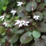Viola yezoensis f. discolor/ Mt. Takao viola/ タカオスミレ