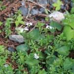 Viola verecunda/ ツボスミレ