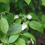Flowering plant of Hydrangea scandens/ ガクウツギ