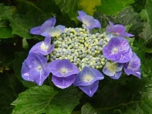 Hydrangea macrophylla/ Bigleaf hydrangea/ アジサイ 紫陽花