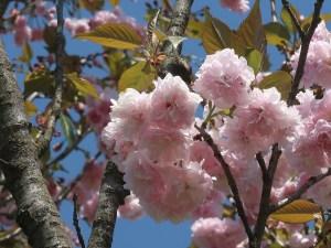 Cerasus serrulata 'Sakunami-kikuzakura'/ Cherry var.Sakunami-kikuzakura/ サクナミキクザクラ